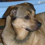 pies do adopcji pies psy do adopcji warszawa
